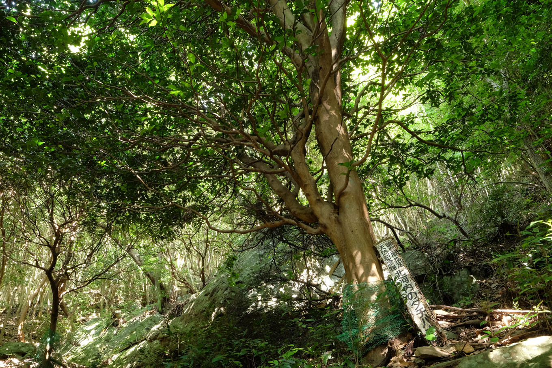 斜面上にある北河内のタチバナ。