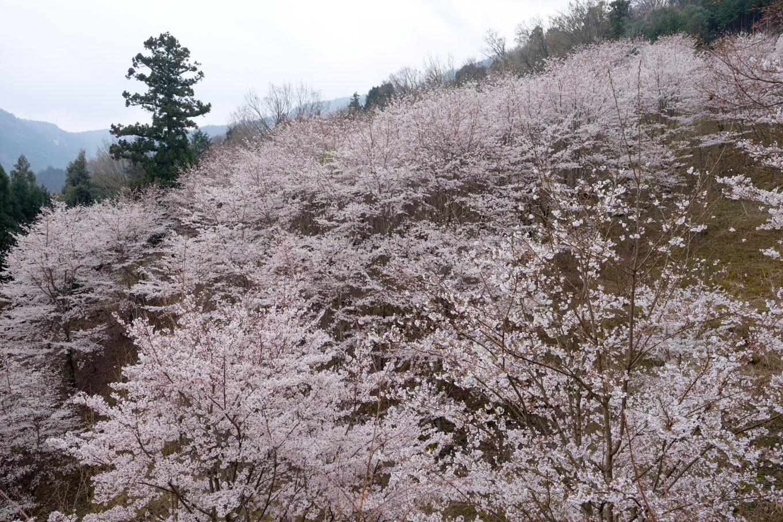 山肌を覆う桜。