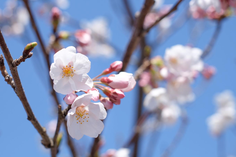 本丸跡に咲く桜。