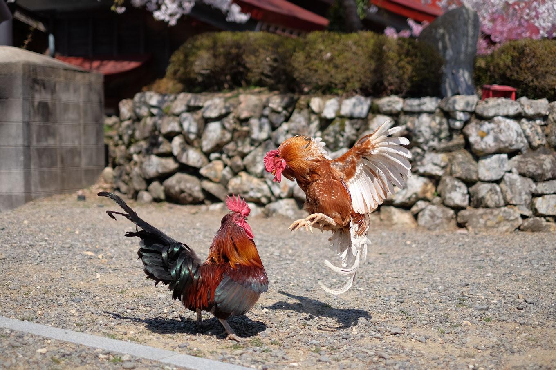境内を走り回る鶏。