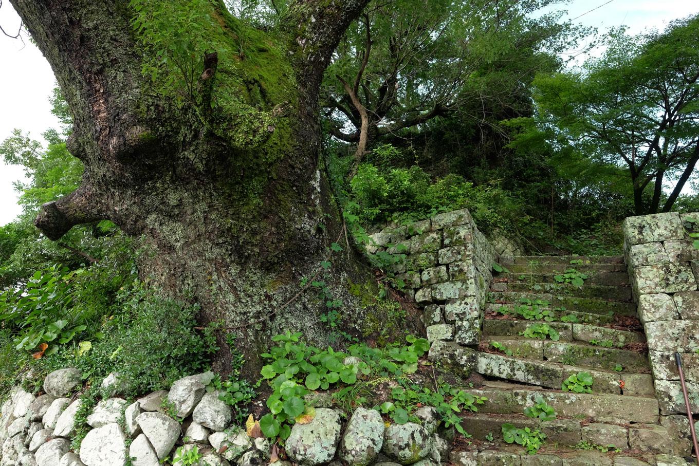 八幡神社の境内にある、八幡さんのクスノキ。